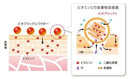 ビタブリッドC皮膚吸収経路.jpg